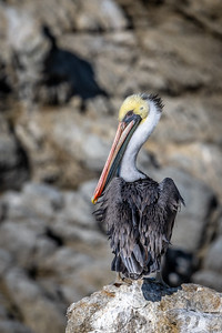 Pelican on a Cliff (vertical)