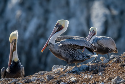 Brown Pelicans Gather
