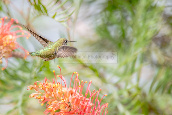 Anna's Hummingbird - Flight Path