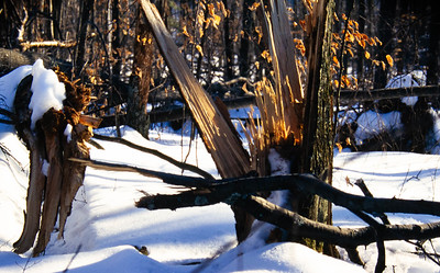 Just one of the thousands of trees damaged or brought down by the ice.