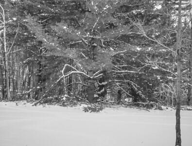 The Beautiful White pines, January 1998