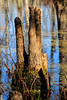 Cypress Knees 1