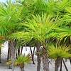 Chit palm trees in Caribbean beach sand Tulum