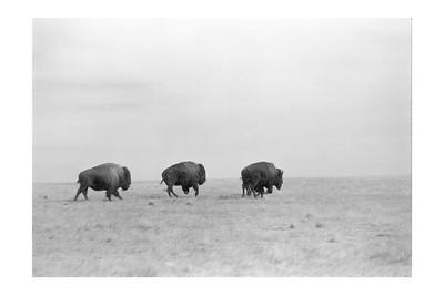 Buffalo Bulls on the Run II