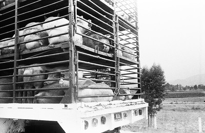 MEXICO Pig being transported © Christopher Herwig / PHOENIX