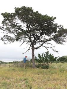 Pinus remota