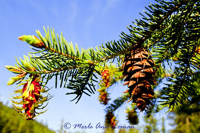 at a stop along Highway 12 and Lolo Creek - Douglas-fir - Pseudotsuga menziesii