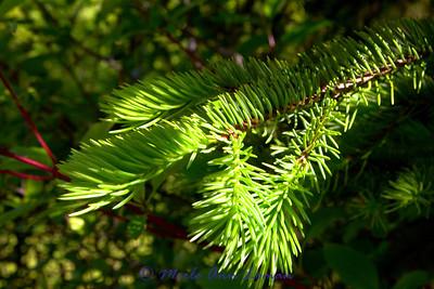 Subalpine fir