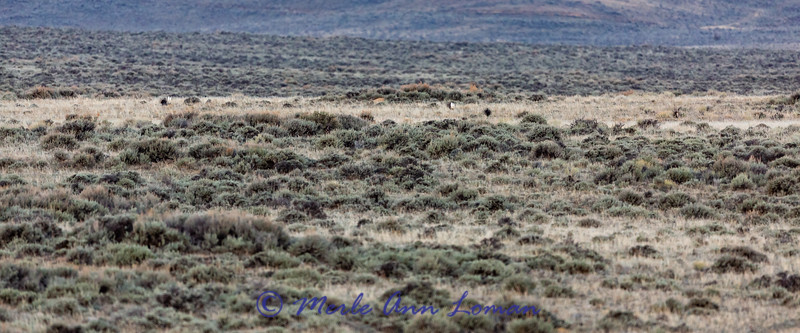 Greater Sage Grouse lek