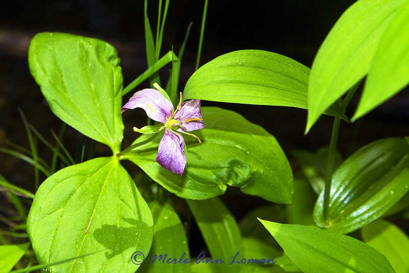 Trillium. As the flowers age and seed pods begin to form, the petals turn pinkish or lavender.