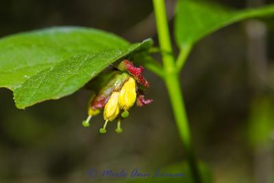 Twinberry (Honeysuckle)