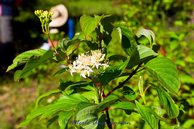 Red-osier Dogwood
