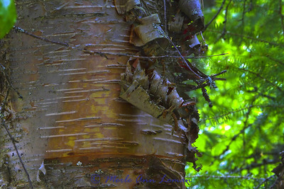 Hybrid between paper birch (Betual papyrifera) and water birch (Betula occidentalis). This birch is at O'Brien Creek. It is bigger than a water birch and the bark peels and resembles the paper birch. It is a beautiful tree! This is one of the bigger trees of this species that we saw. Love the bark.
