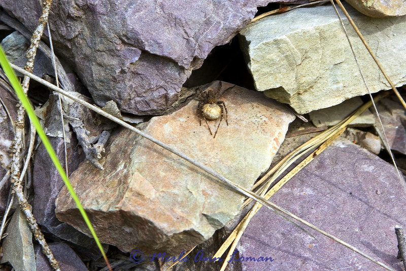 Maybe Wolf spider?