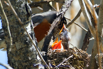 American Robin - Turdus migratorius, female and chicks in a nest. Year-round resident in Montana.