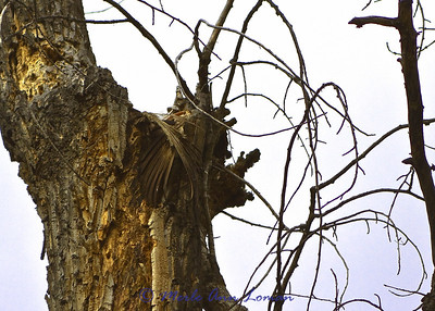 A pair of wings the children saw on the Wildlife Walk. Looks like someone had a meal up in this Cottonwood snag.