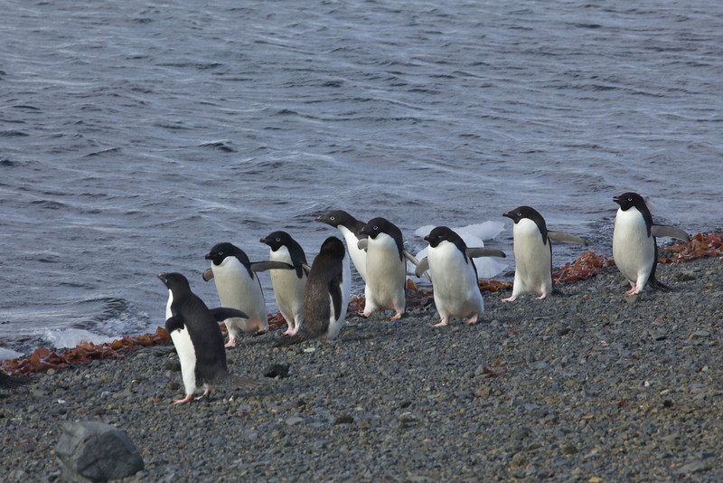 Adelie Penguins split off from the other members of the genus around 19 million years ago.[