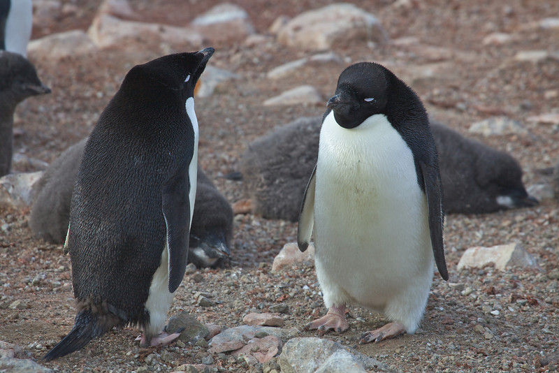 Adelie penguins are mid-sized, being 18 to 30 inches in length and 8.6 to 12.8 lbs in weight