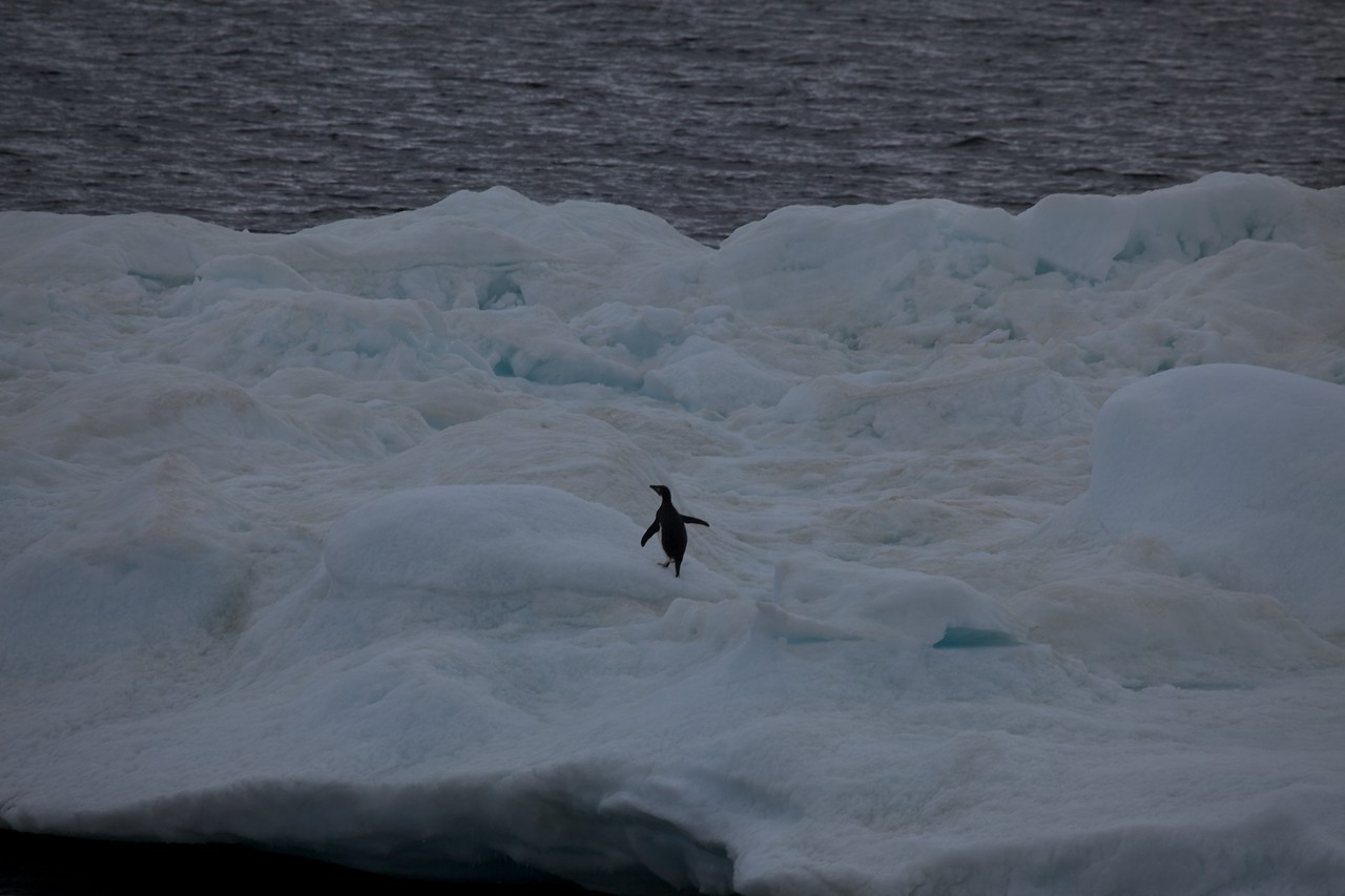 A chinstrap penguin.