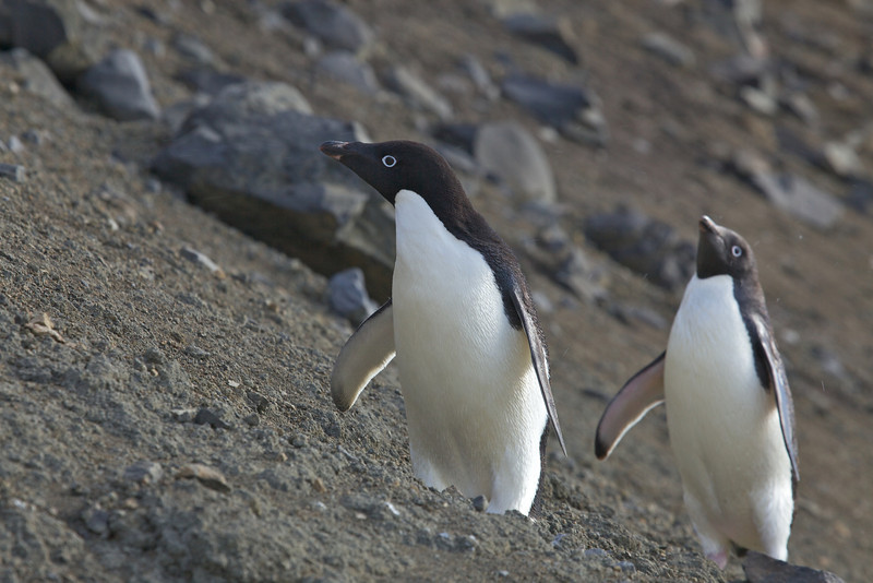 There are 38 colonies of Adelie penguins in the world and there are over 5 million Adelies in the Ross Sea Region.