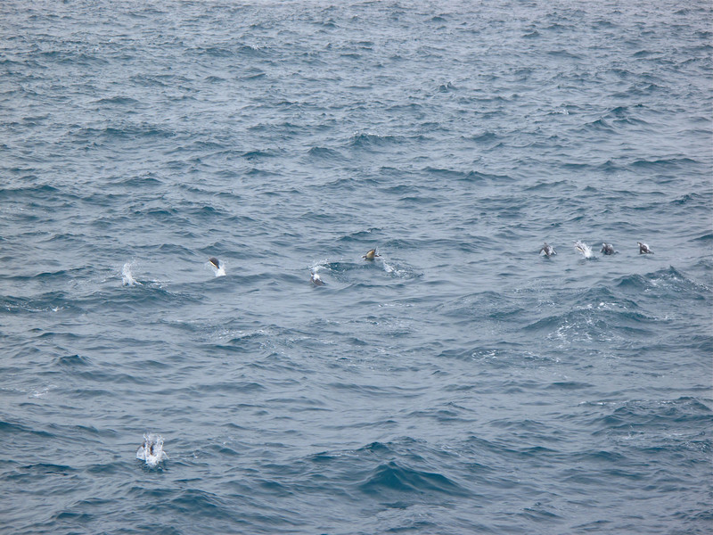 On the way in, we see Gentoo penguins catching fish in the water.