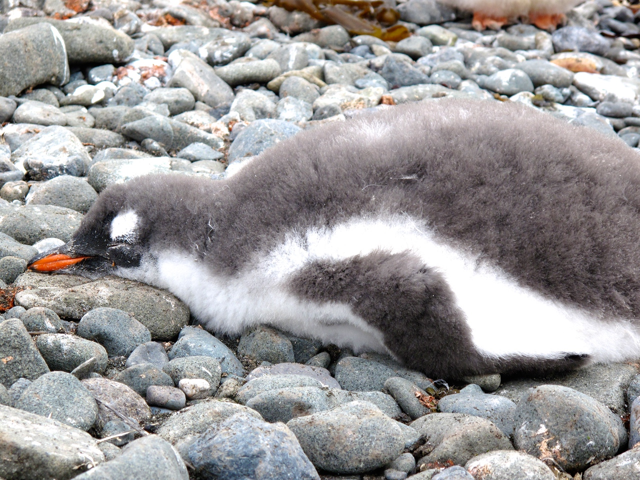 Sometimes, a penguin just needs to rest.
