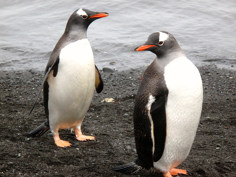 "The Gentoo is listed as a ""near-threatened"" species."