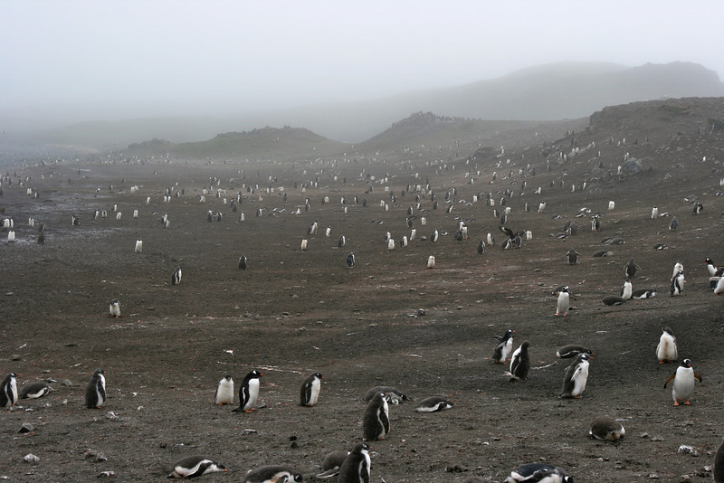 Gentoo and chinstrap penguins as far as the eye can see.