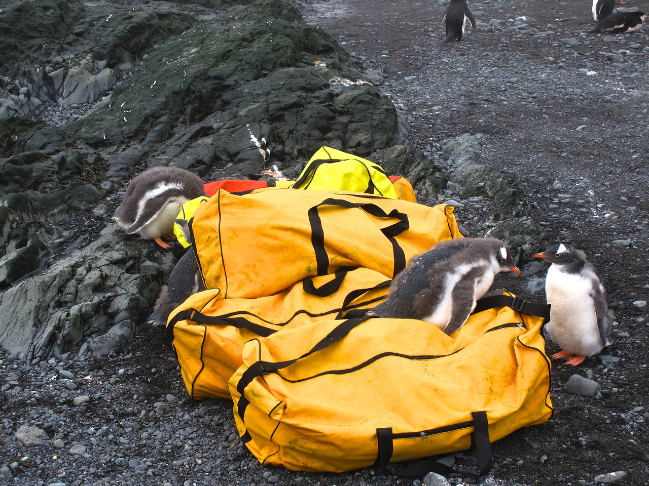 Since the penguins have no fear of man, since they are not hunted, they're very inquisitive.