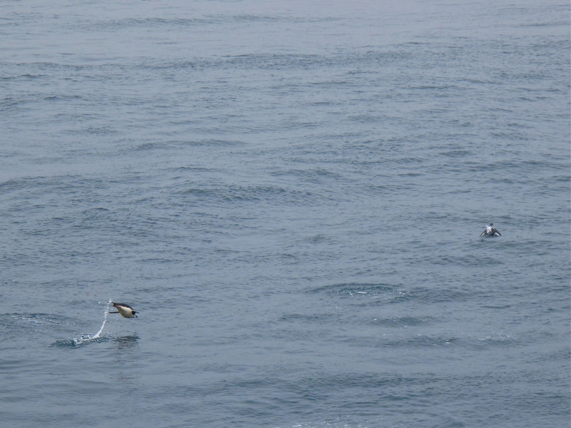 We caught this one in mid air.  Gentoo's are the fastest swimming penguin with speeds up to 21 mph.