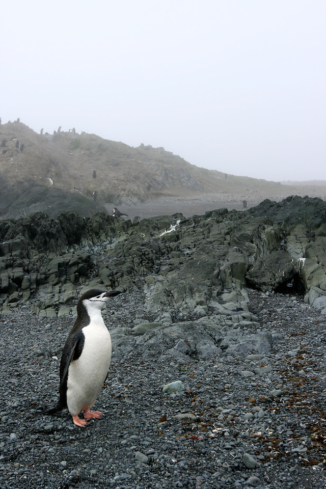 An chinstrap penguin stops to pose for a picture.