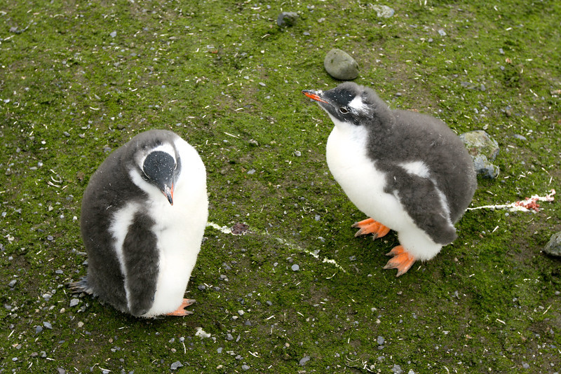 The Gentoo Penguin is easily recognized by the wide white stripe extending like a bonnet across the top of its head.