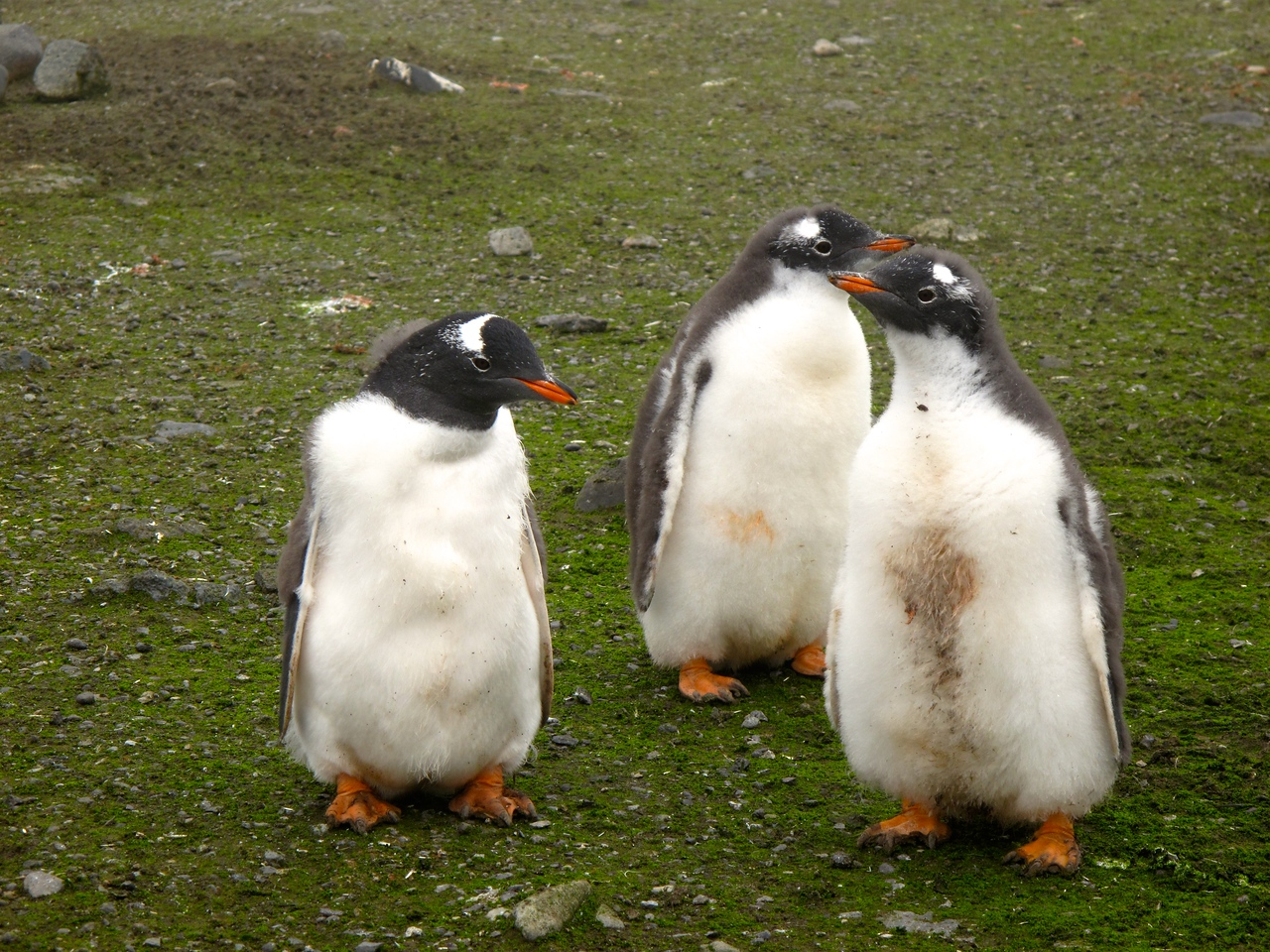 The total world breeding population of Gentoo's is estimated to be over 300,000 pairs.