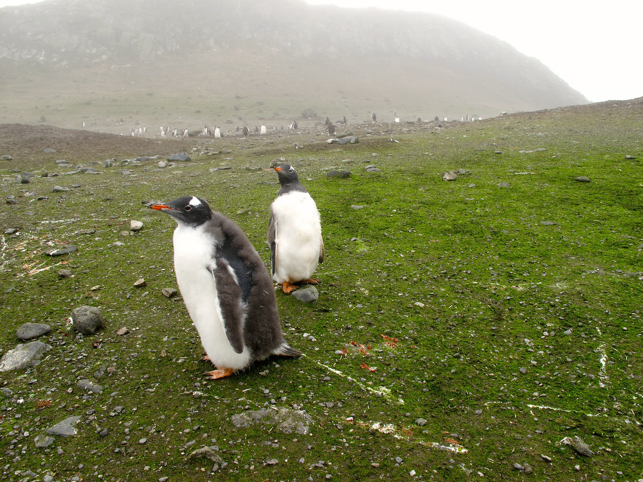 Gentoo's have a maximum weight of about 18 lbs just before moulting and drop to around 10 lbs just before mating.