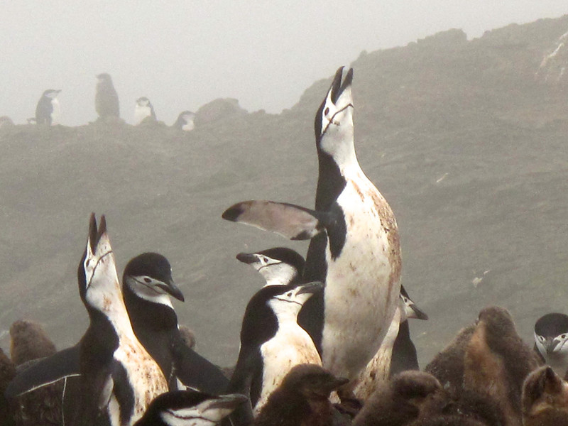 The Chinstrap Penguin was first spotted by German naturalist Forster in 1781.