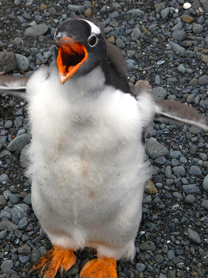 Like all penguins, the Gentoo Penguin is highly social, foraging and nesting in groups.  This one, however, may be a bit unsociable.