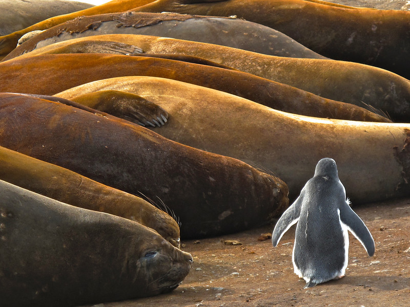 A gentoo penguin walks past a group of elephant seals that are almost oblivious to its presence.