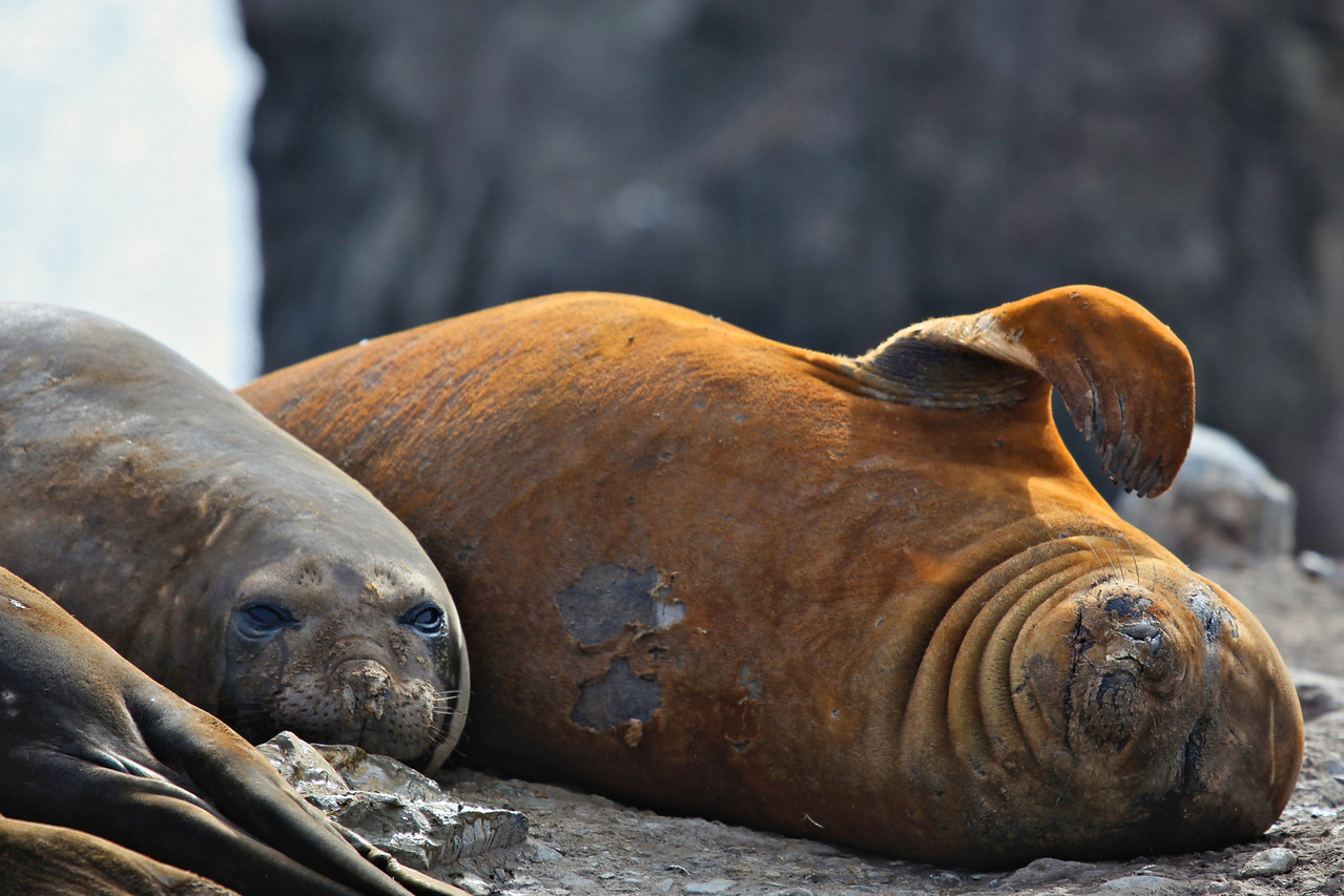 Female elephant seals have an average life expectancy of about 23 years, and can give birth starting at the age of 4-5.