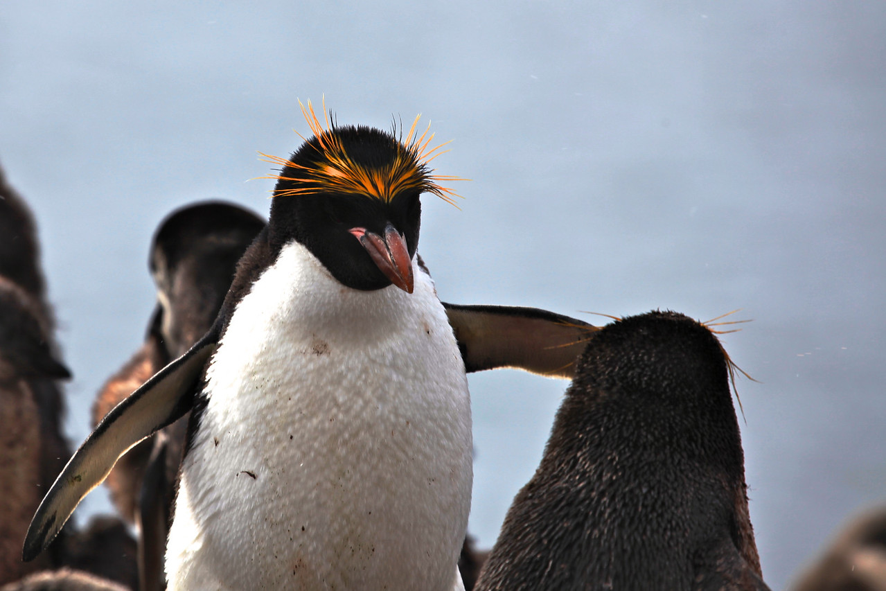 Although the number of Macaroni Penguins is currently high, the decline of the overall population in the last 30 years has resulted in the classification of the species as globally Vulnerable by the IUCN Red List of Threatened Species.