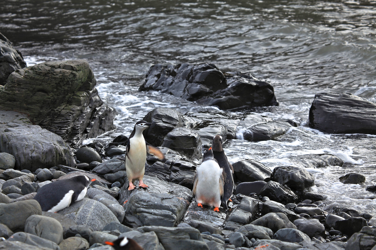 There is a colony of Chinstrap penguins at Hannah Point
