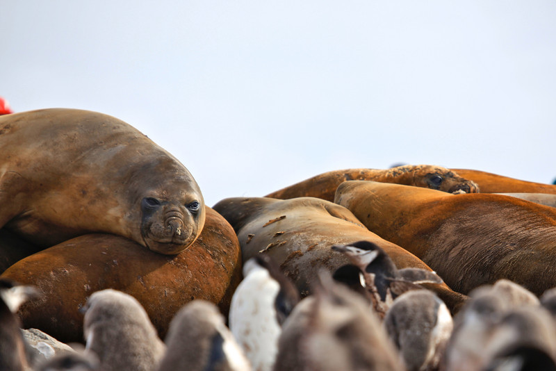 Elephant seals are large, oceangoing seals. They were hunted to the brink of extinction by the end of the nineteenth century, but numbers have since recovered.