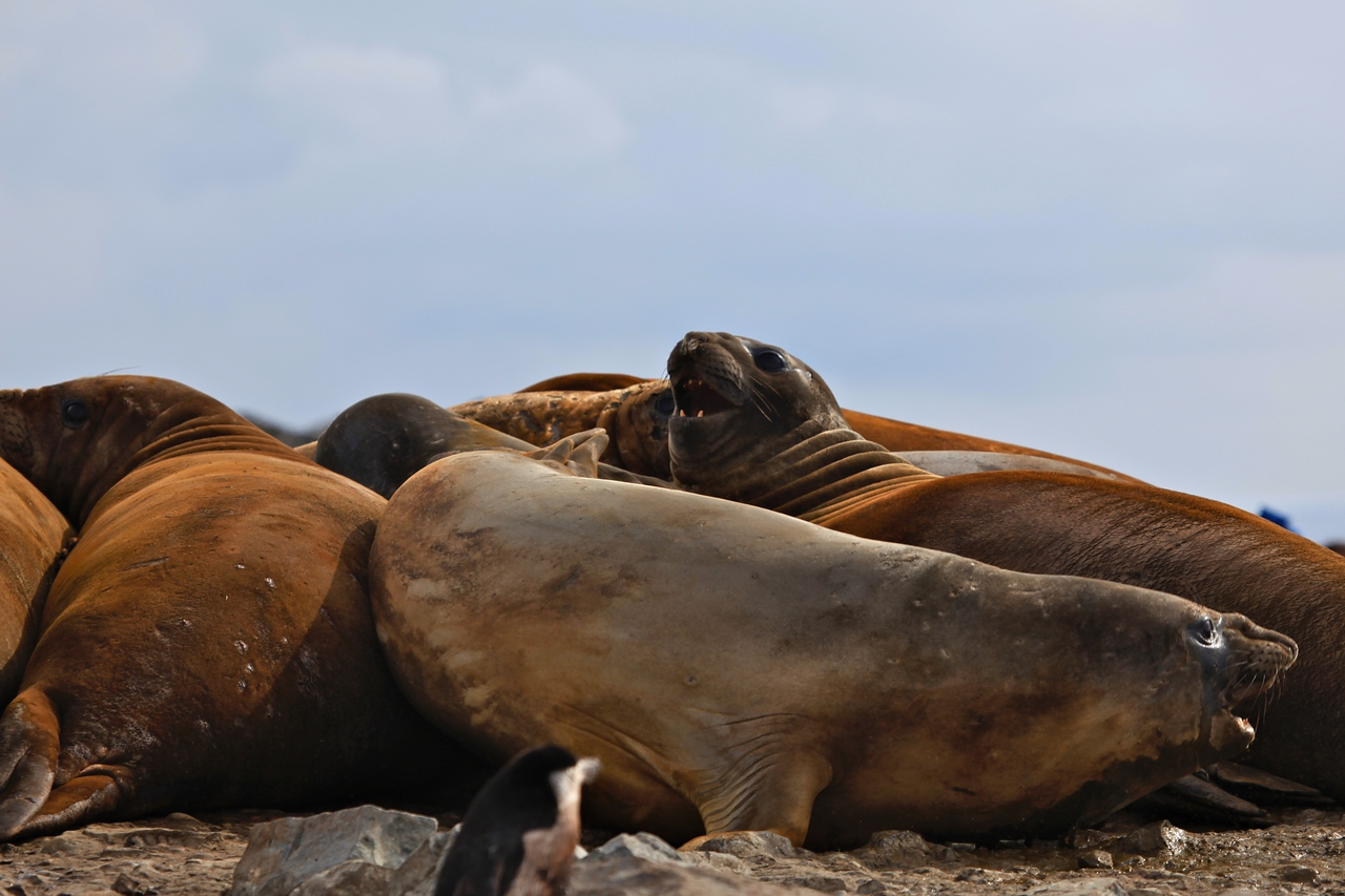 This group contains all female seals.