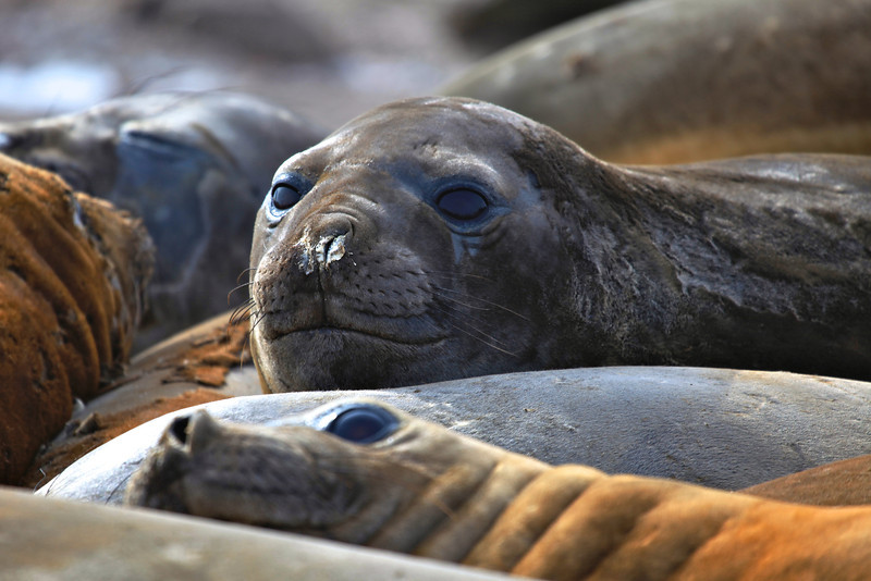 Elephant seals spend upwards to 80 percent of their lives in the ocean. They can hold their breath for over 120 minutes—longer than any other non-cetacean mammal.