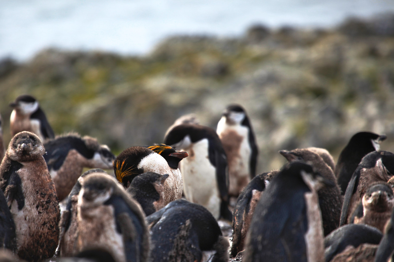 It is one of six species of crested penguin, and bears a distinctive yellow crest. An adult averages about 12 lb in weight and 28 inches in length.