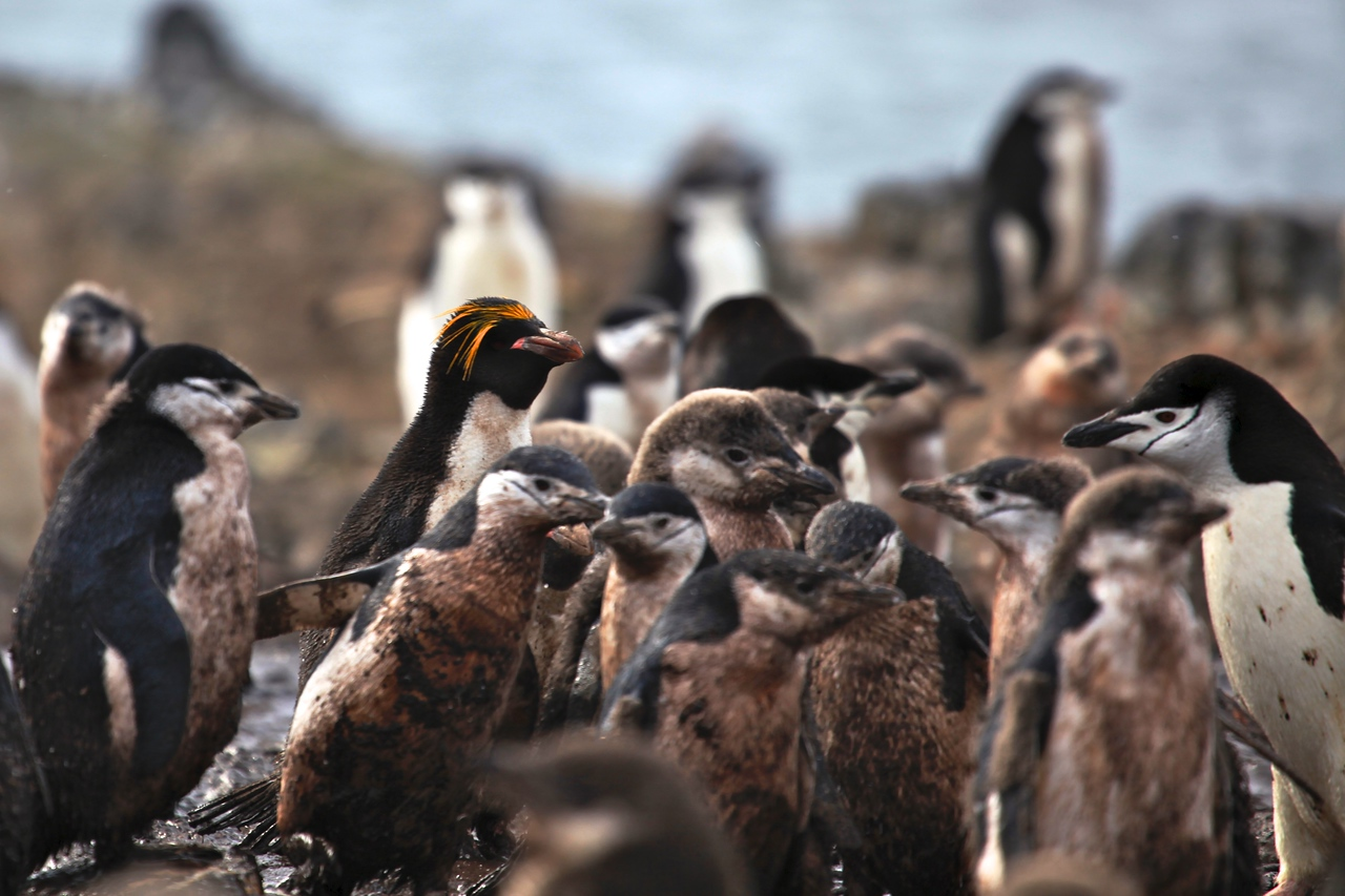Hannah Point is one of the farthest southern reaches for the Macaroni Penguin.  Today, there are only around 5 breeding pairs on the island.