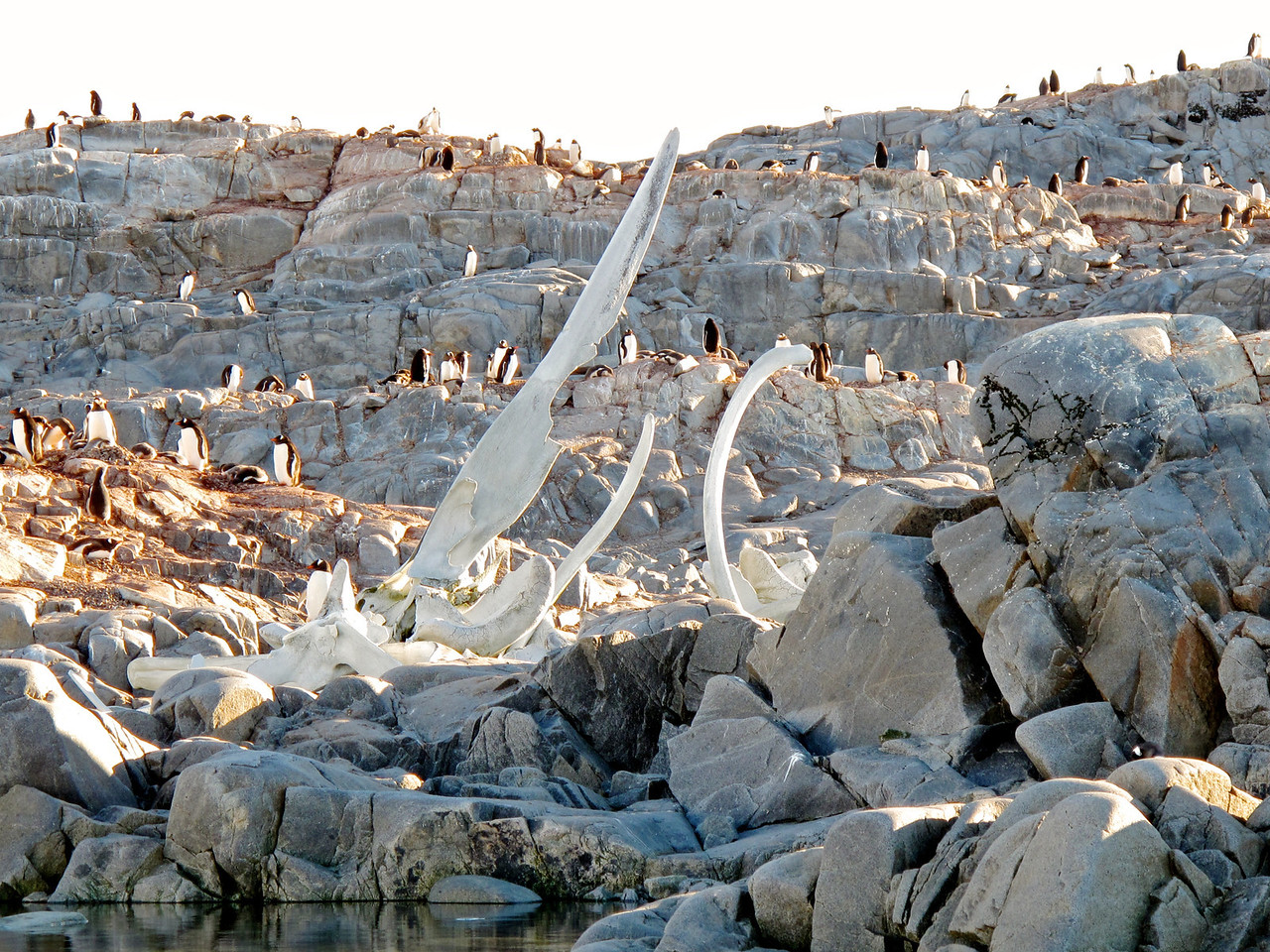 These whale bones are almost 100 years old and are remnants of whaling that ocurred in the area in the 1920s.  The whales that these bones are from were larger than present day whales.