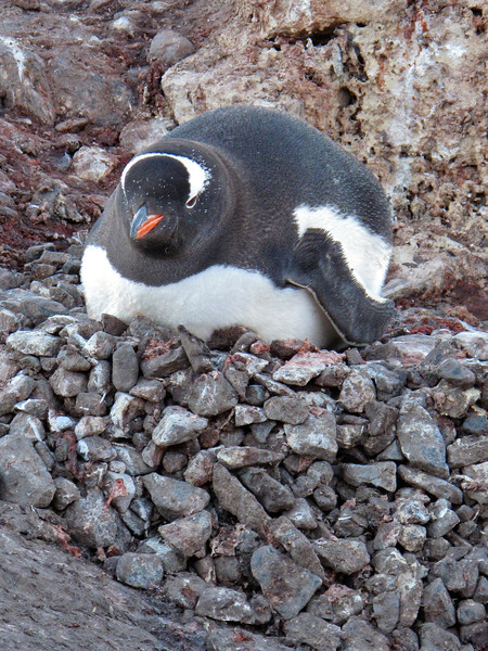 This penguin sits upon her nest, which is built of small rocks.