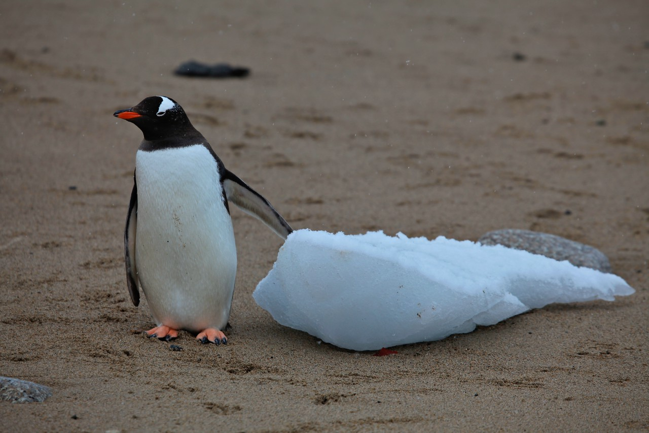 This penguin lays claim to a small piece of ice that's washed ashore.