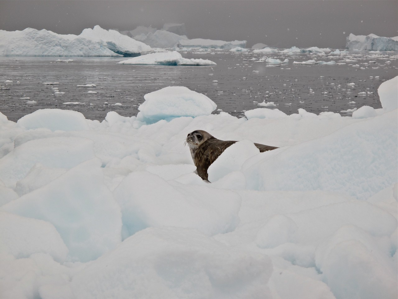 The Weddell seal was named and discovered by a British sealing captain, James Weddell in the 1820s when he was on a sailing expedition within the Weddell sea, also named after James Weddell.