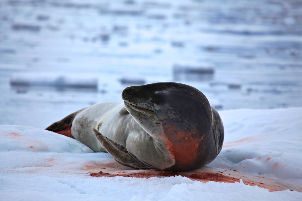 The Leopard seal is the second largest species of seal in the Antarctic (after the Southern Elephant Seal), and is near the top of the Antarctic food chain.